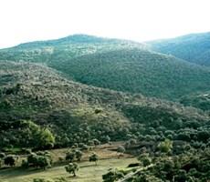 BODRUM - MİLAS HAVAALANINA 6 KM MESAFEDE 19 DÖNÜM ZEYTİNLİK