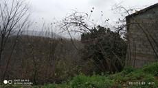Ordu Perşembe Merkez Kozağzında 3233m2 Satılık Fındık Bahçesi