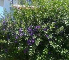Çeşme Ilıca' da Müstakil Bahçeli Nezih Bir Bölgede Kiralık Villa